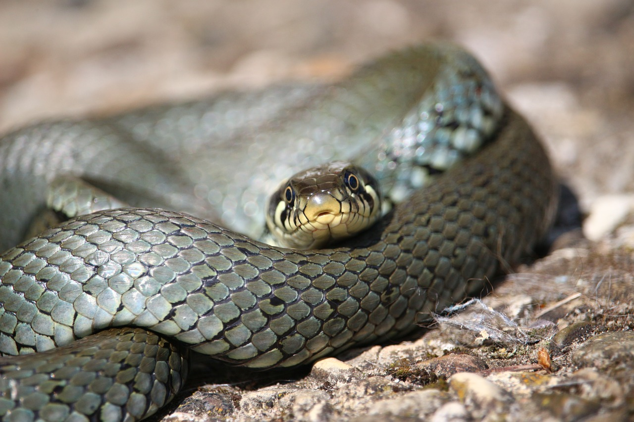 snake-datos-serpientes-animal-la-revista-perseguidas
